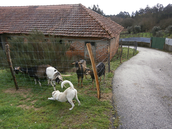 goats-and-dog